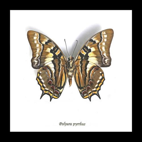 polyura pyrrhus