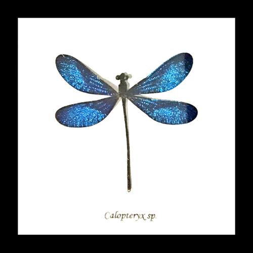 Calopteryx species