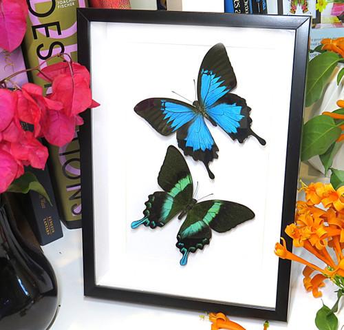 Papilio ulysses + Papilio blumei