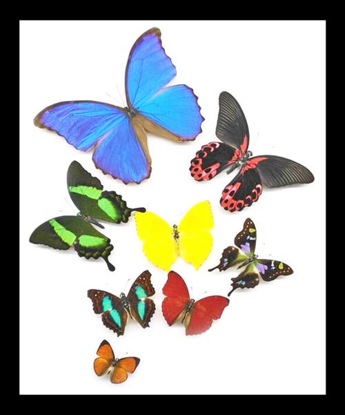 Morpho amathonte, Papilio rumanzovia, Phoebis rurina , Cymothoe sangaris, Papilio palinurus, Doxocopa cherubina, Graphium wieskei, Curetis nesophila