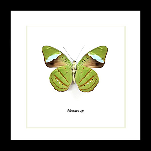 nessaea butterfly