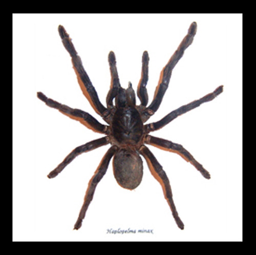 spider arachnid framed spider for sale Australia Haplopelma minax Bits & Bugs