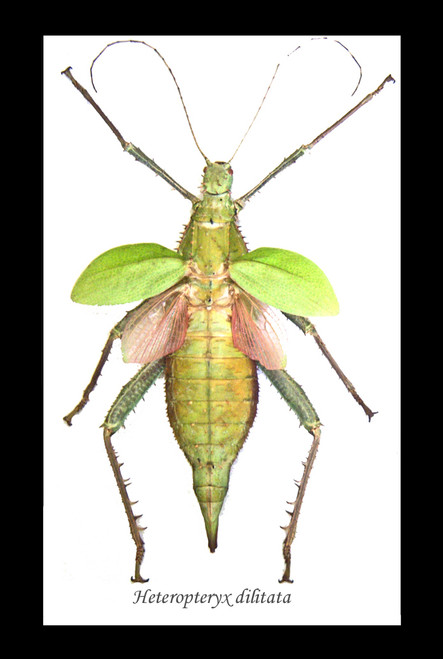 Stick insect Heteropteryx dilatata Bits & Bugs