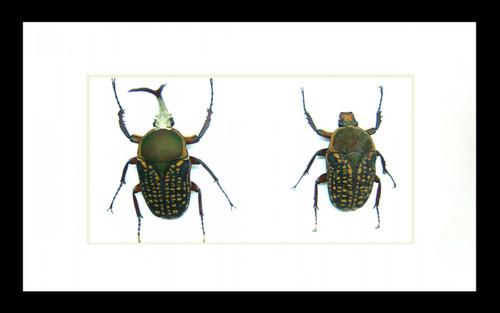 Beetles Megalorrhina harrisi harrisi Bits&Bugs