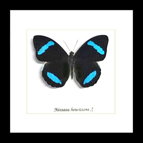 Nessaea hewitsoni butterfly Bits&Bugs