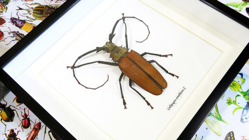 family picture frames callipogon armillatus xl bits and bugs 12319