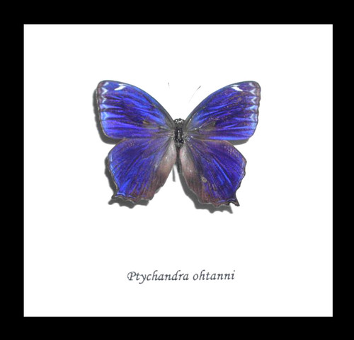 Real butterfly Ptychandra ohtanni Bits&Bugs