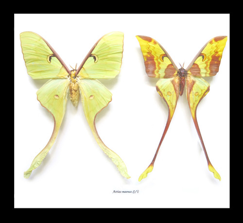 Actias maenas female + male