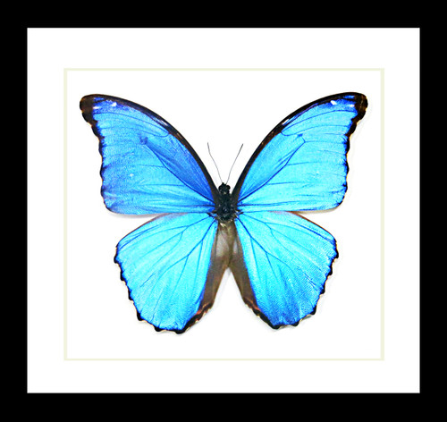 Real butterfly Morpho amathonte Bits&Bugs