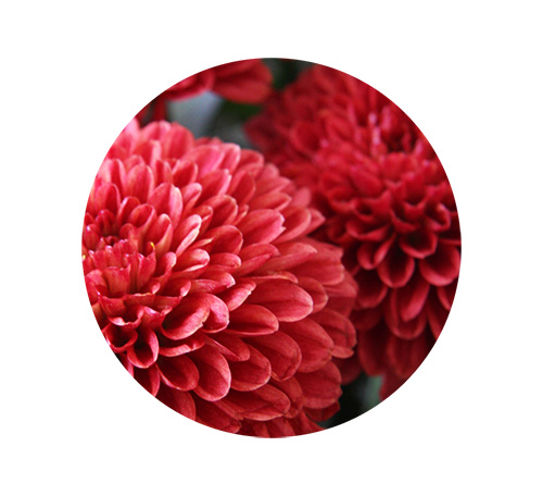 1-chrysanthemum-small.jpg