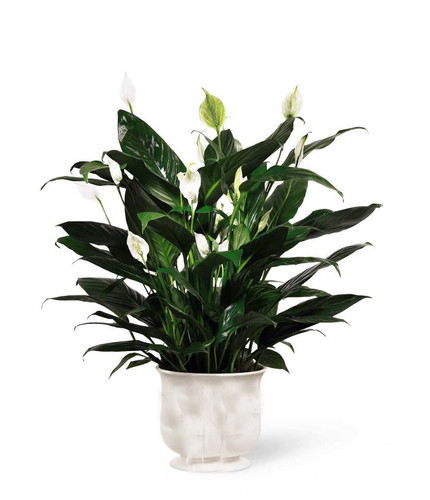 "6"" Potted Peace Lily"
