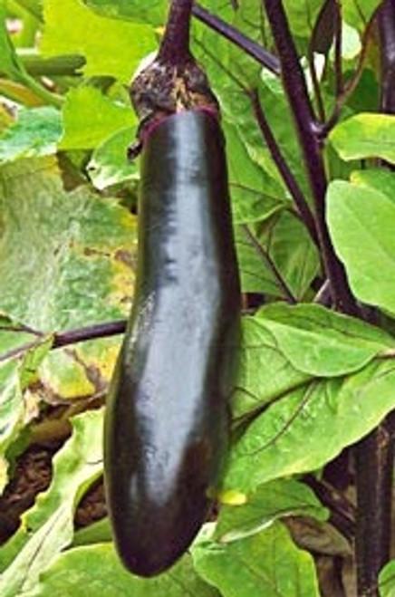 Millionaire F1 Eggplant