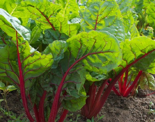 Rhubarb (Ruby Red)