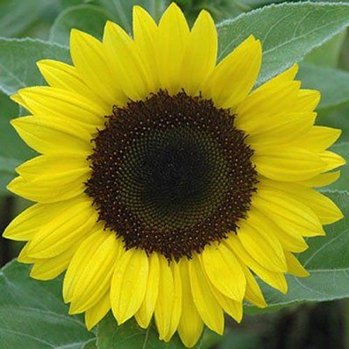 Sunrich Lemon Summer F1