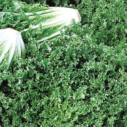 Salad King (endive)