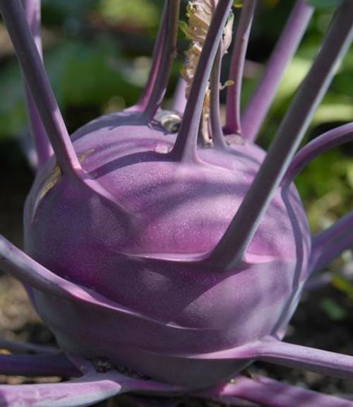 Early Purple Vienna