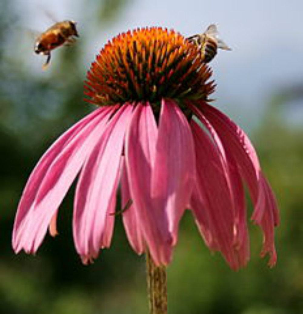 232px-echinacea-mit-biene.jpg