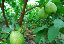 DRY EXTRACT OF GUAVA 1KG