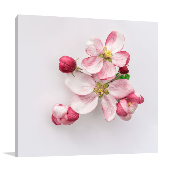 Apple Blossoms on White Background Art Picture