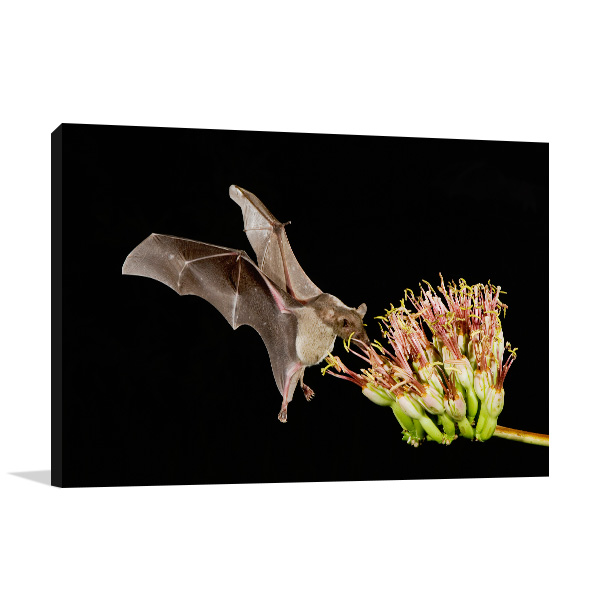 Bat Feeding on Flower Wall Art Print