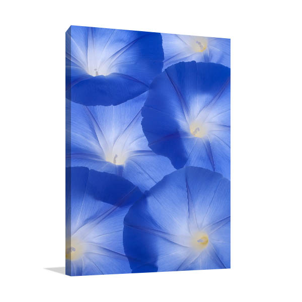 Blue Morning Glory Wall Photo