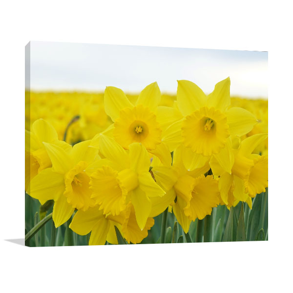 Field of Daffodils Wall Canvas