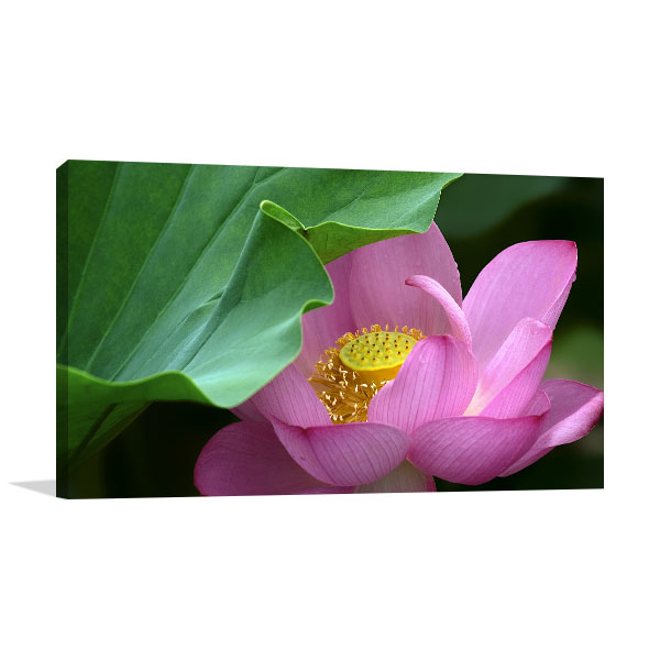 Lotus Closeup Print Picture
