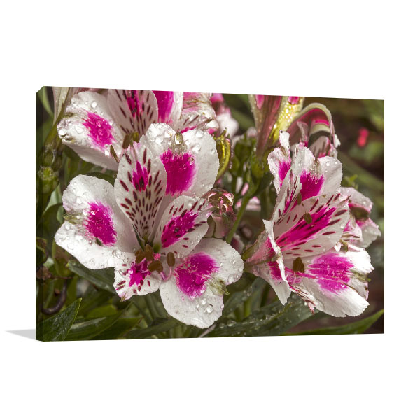Peruvian Lily Picture Print