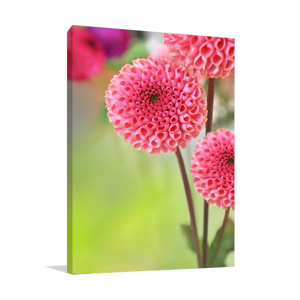 Pink Dahlias Picture Wall