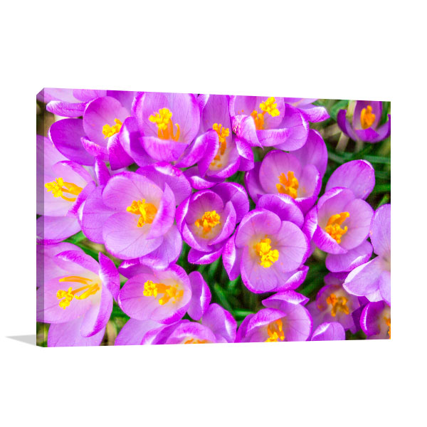 Purple Crocus Picture Wall