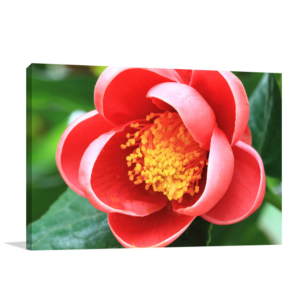Red Camellia Canvas Prints