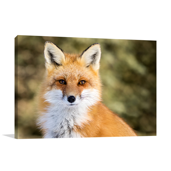 Red Fox Picture Print