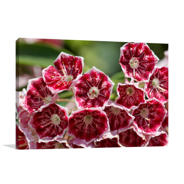 Red Mountain Laurel Canvas Art
