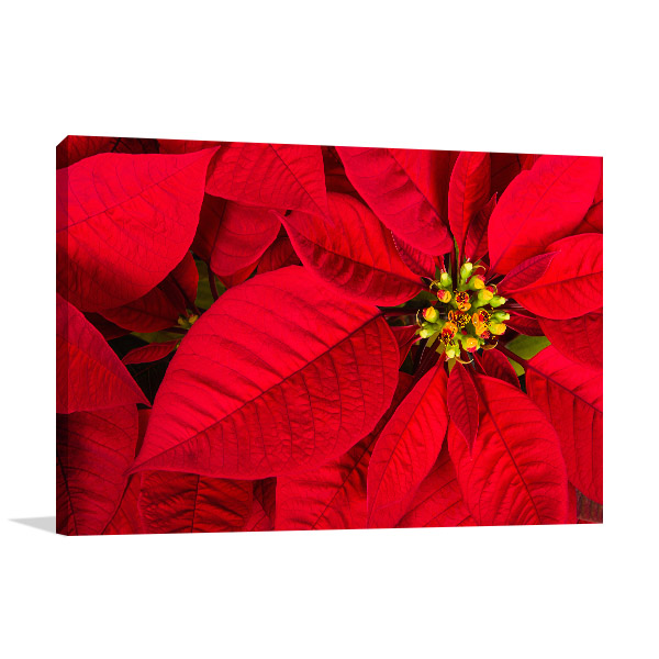 Red Poinsettia Picture Artwork