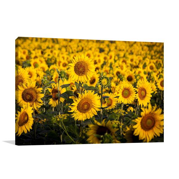 Sunflower Field Artwork Canvas