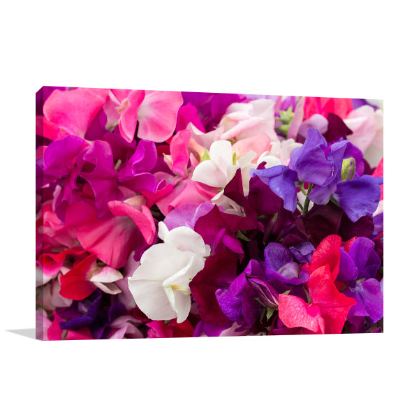 Sweet Pea Flowers Photo Canvas