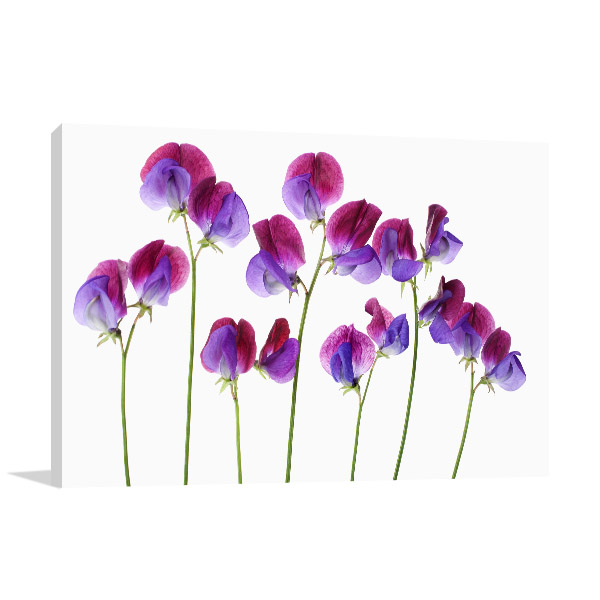 Sweet Pea in Rows Canvas Wall Art