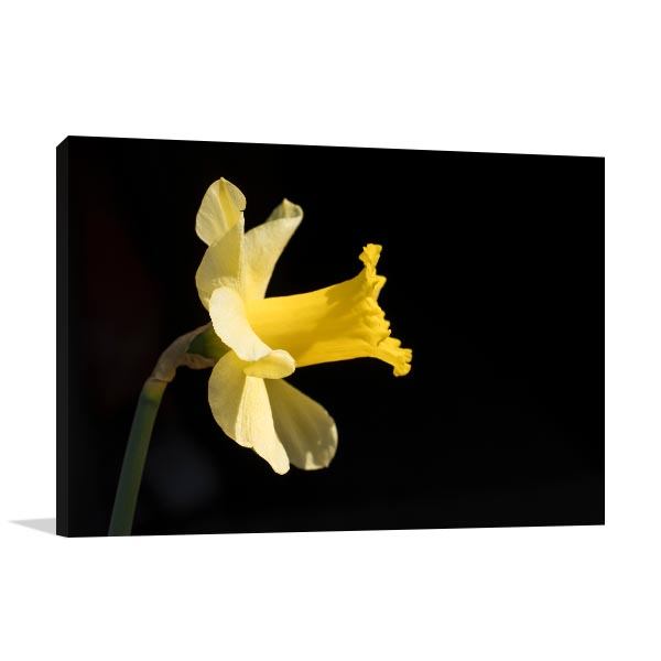 Yellow Daffodil on Black Background Artwork Canvas