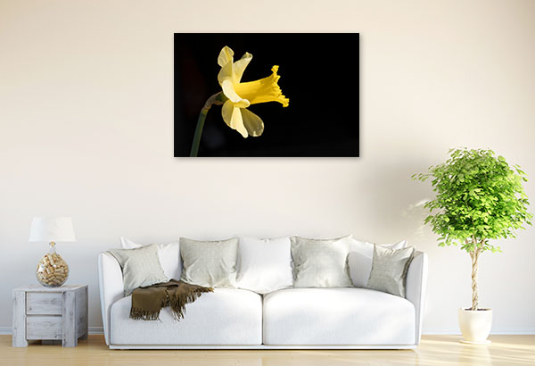 Yellow Daffodil on Black Background Wall Canvas