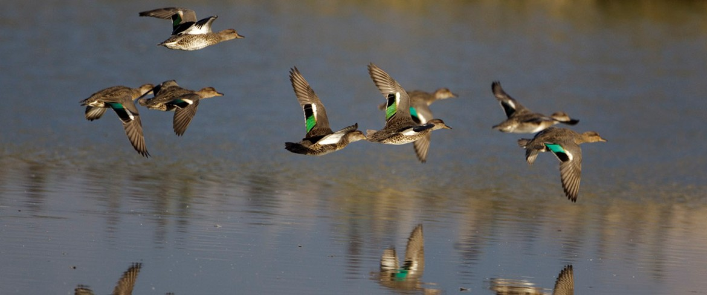 flockduckslowwater.jpg