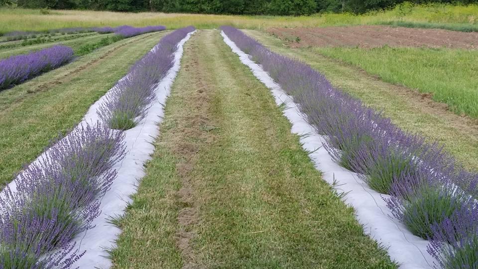 blooming-lavender-2.jpg