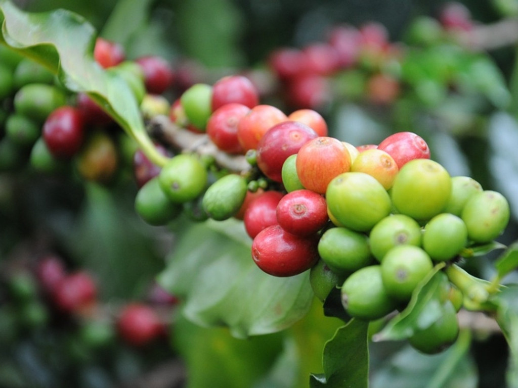 What Makes Kona Coffee So Unique?