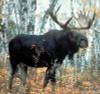 Moose Antler button 10 mm x 3
