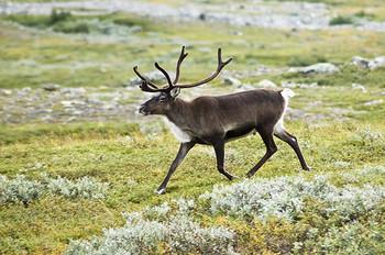 Reindeer Antler buttons x 5