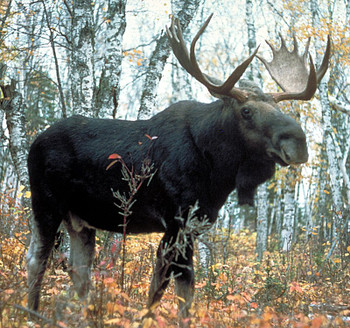 Moose Antler Crown Taper, Super