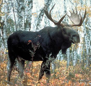 Moose Antler Crown Taper, Standard