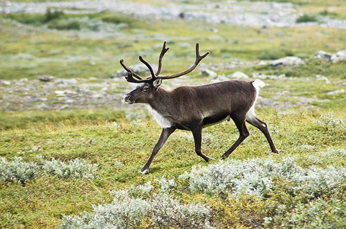 Reindeer Antler Crown