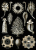 Art Prints of Calcispongiae, Plate 5 by Ernest Haeckel