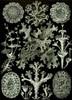 Art Prints of Lichenes, Plate 83 by Ernest Haeckel