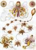 Art Prints of Siphonophorae, Plate 7 by Ernest Haeckel